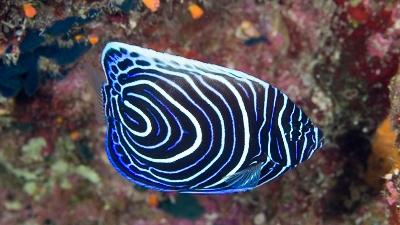 タテキン幼魚