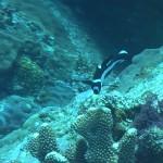 アオウミガメいっぱい&ナポレオン