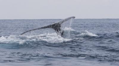 ザトウクジラのメイティング5