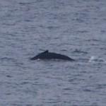 ロウニン、トビエイ、サメ爆発!&クジラ