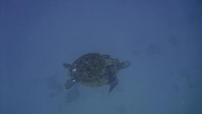 アオウミガメ交尾