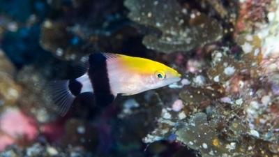 ヒラグロベラ幼魚