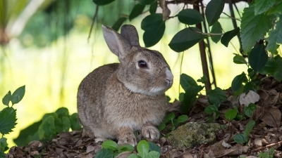 ウサギ単品