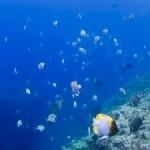 ニライカサゴ幼魚