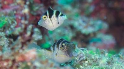 ノコギリハギ幼魚とキンチャクフグ