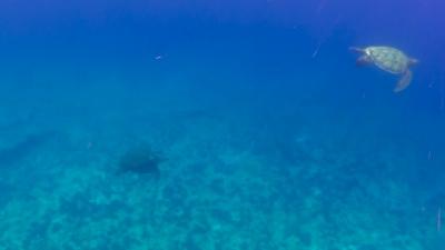 アオウミガメの交尾を観察するウミガメ
