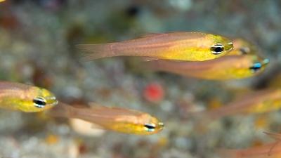 アオハナテンジクダイ幼魚かな