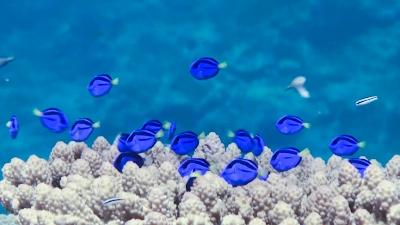 ナンヨウハギ幼魚