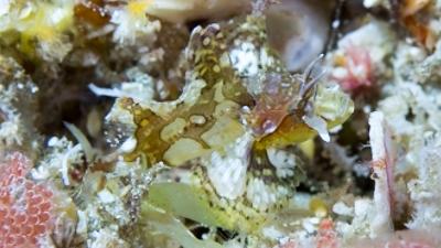 ウルマカサゴ幼魚