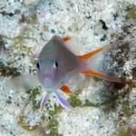 タテスジハタ幼魚