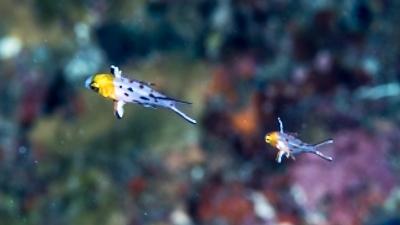ヒオドシエベラ幼魚
