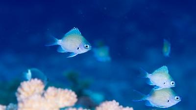 アマミスズメダイ幼魚 (2)