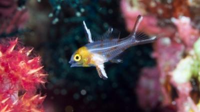 ヒオドシエベラ幼魚1