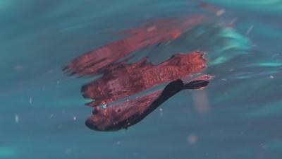 マツダイ幼魚