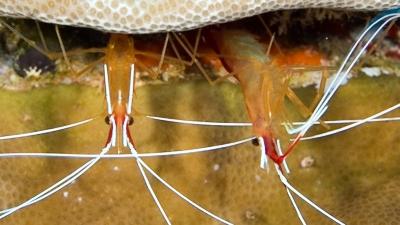 アカシマシラヒゲエビ