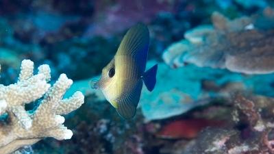 26ゴマハギ幼魚