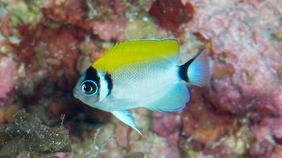 トサヤッコ幼魚