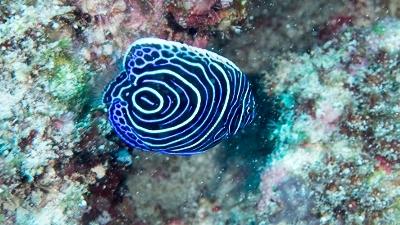 タテジマキンチャクダイ幼魚