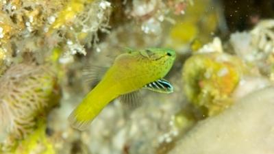ヤミスズキ幼魚