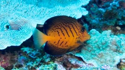 メイキュウサザナミハギ幼魚