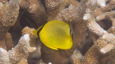 アミチョウチョウウオ幼魚