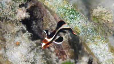 ヒレグロコショウダイ幼魚