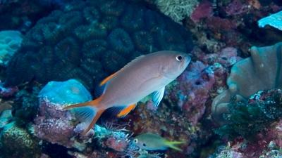 タテスジハタ幼魚、