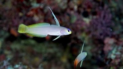 helfrichi-firefish-hybrid