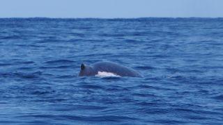 クジラ7頭&ヘルフリッチ・ハイブリッド