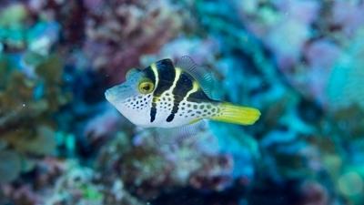 ノコギリハギ幼魚 (2)