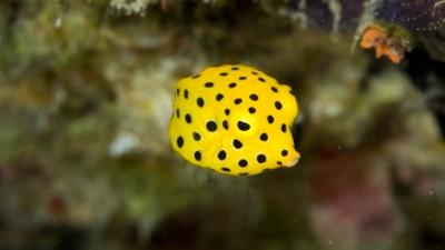ミナミハコフグ幼魚 (3)