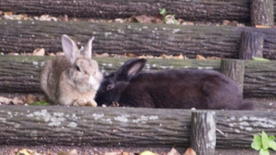 エラブのクロウサギ