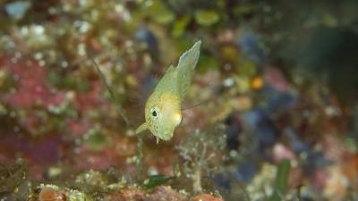 ブチススキベラ幼魚