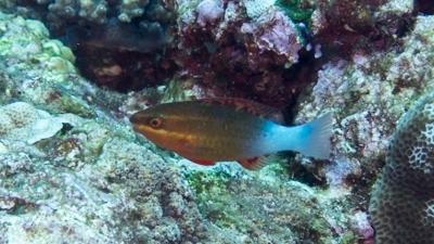アミメブダイ幼魚