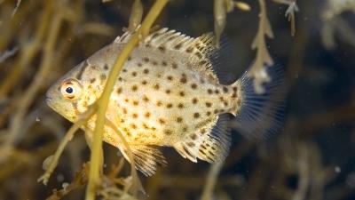 イシガキダイ幼魚
