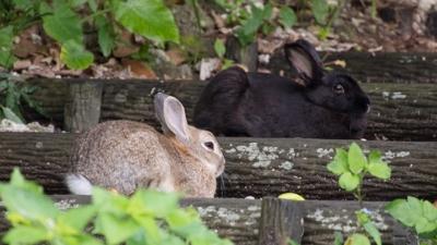 クロウサギ