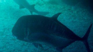 巨大ロウニンアジとサメ