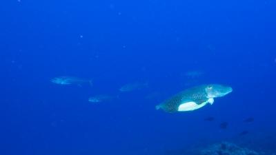 コブシメとイソマグロ