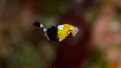 ムスジコショウダイ幼魚