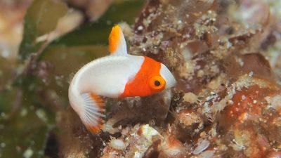 イロブダイ幼魚1