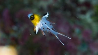 ヒオドシベラ幼魚