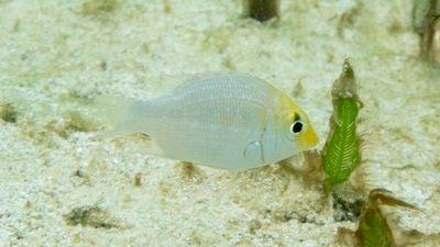 ハマフエフキ幼魚