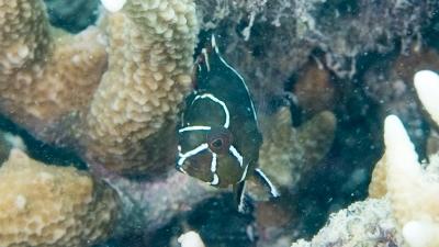 ギチベラ幼魚