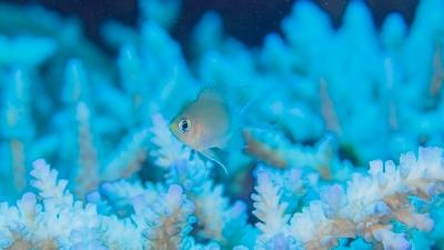 マルスズメ幼魚