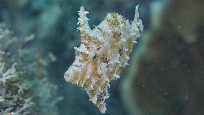 ヨソギ幼魚