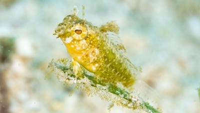 ハタタテギンポ幼魚