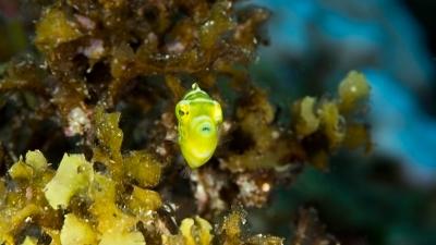 ノコギリハギ幼魚