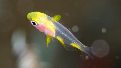 ヤマブキスズメダイ幼魚