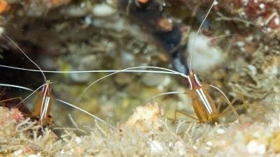 アカシマシラヒゲエビ (2)