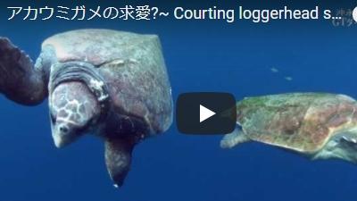 沖永良部島のダイビング動画アカウミガメの求愛